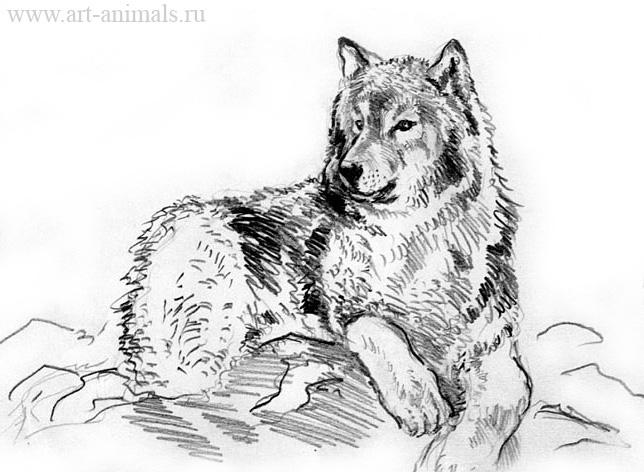 Волки карандаш волки 2 карандаш волк 2